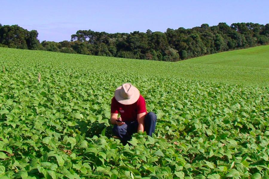 Um homem aparece agachado, usando chapéu, em meio a uma plantação de soja.